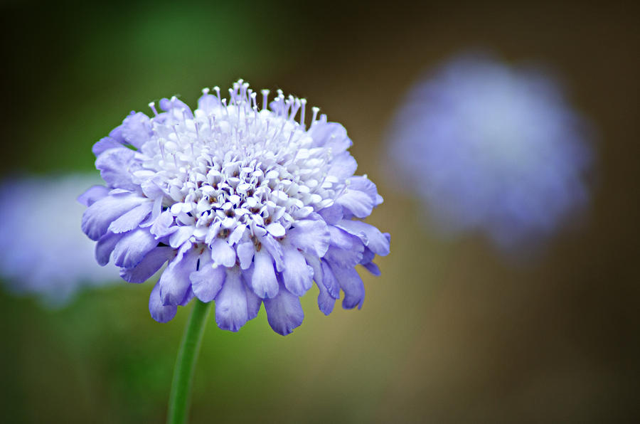 1205-8794 Butterfly Blue Pincushion Flower Photograph  - 1205-8794 Butterfly Blue Pincushion Flower Fine Art Print