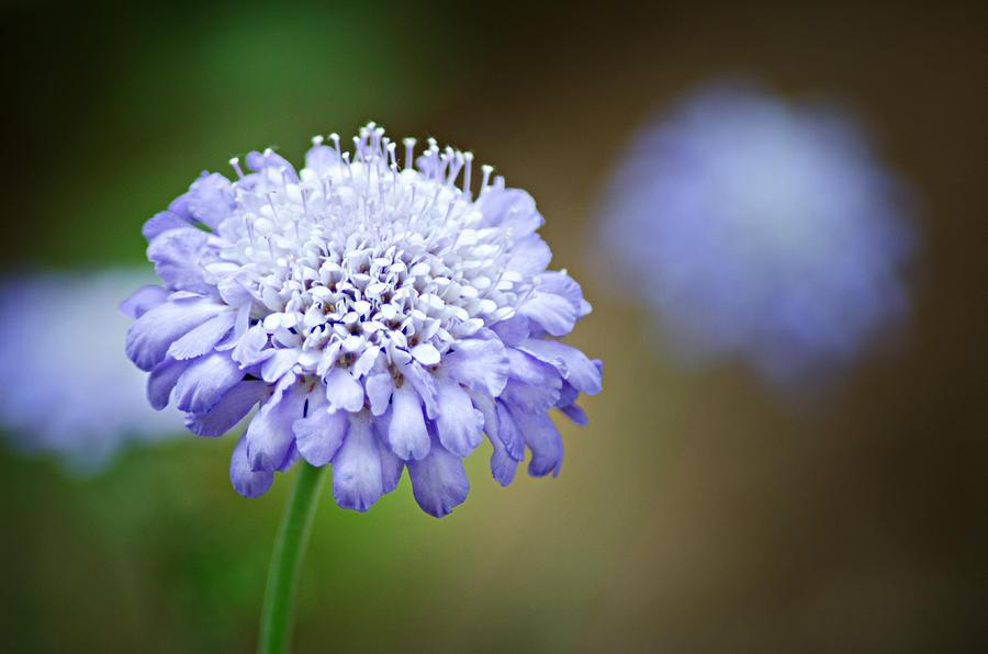 1205-8794 Butterfly Blue Pincushion Flower Photograph