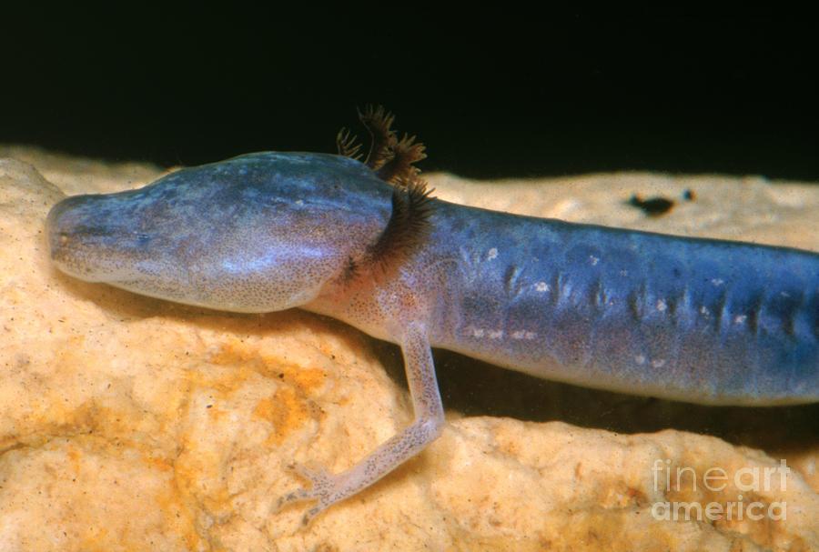 Austin Blind Salamander Photograph