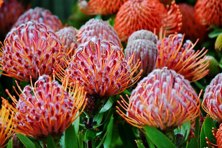 Pincushion Protea Common Pincushion Protea