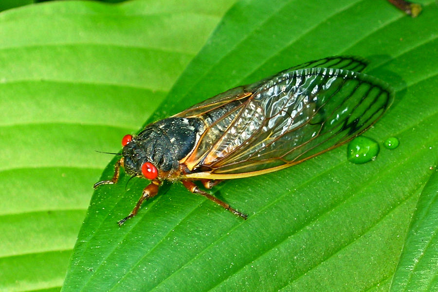 17 Year Periodical Cicada Photograph  - 17 Year Periodical Cicada Fine Art Print