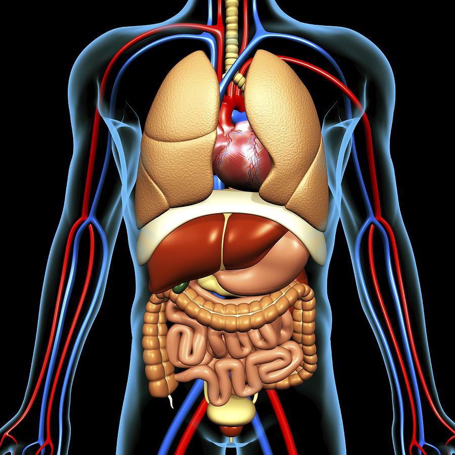 kroppens anatomi organ