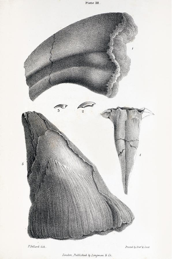 1833 Iguanodon Mistaken Spike Horn Fossil Photograph