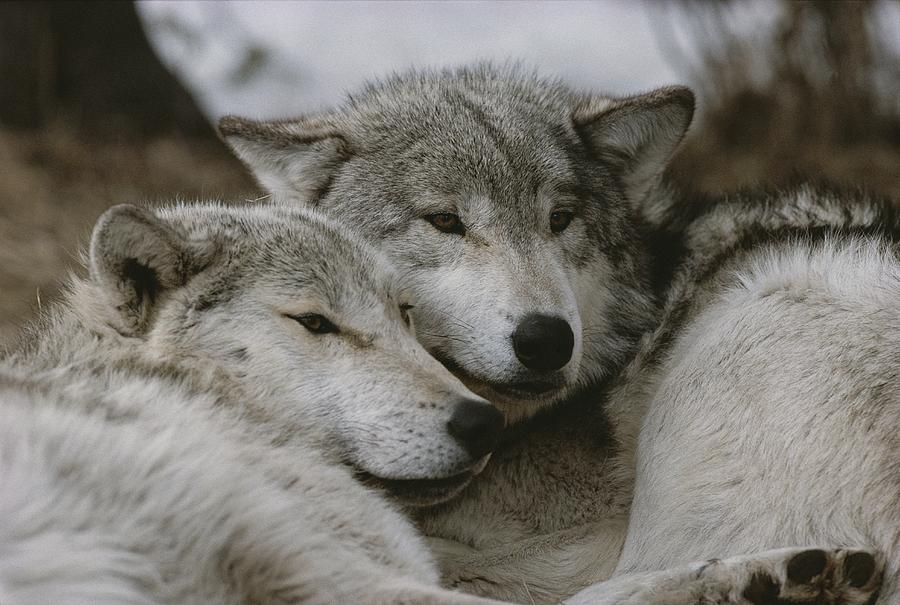 A Couple Of Gray Wolves, Canis Lupus Photograph  - A Couple Of Gray Wolves, Canis Lupus Fine Art Print
