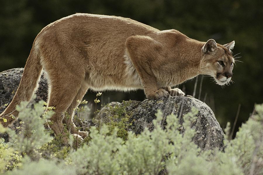 A Mountain Lion, Felis Concolor Photograph