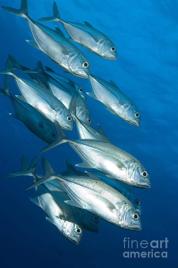 A School Of Bigeye Trevally, Papua New Photograph  - A School Of Bigeye Trevally, Papua New Fine Art Print