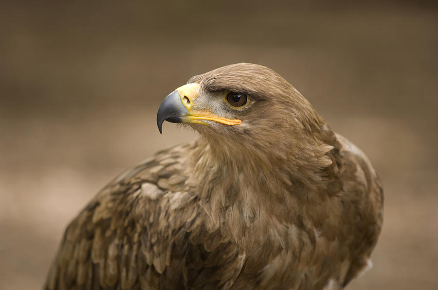 A Tawny Eagle At A Wild Bird Sanctuary Photograph
