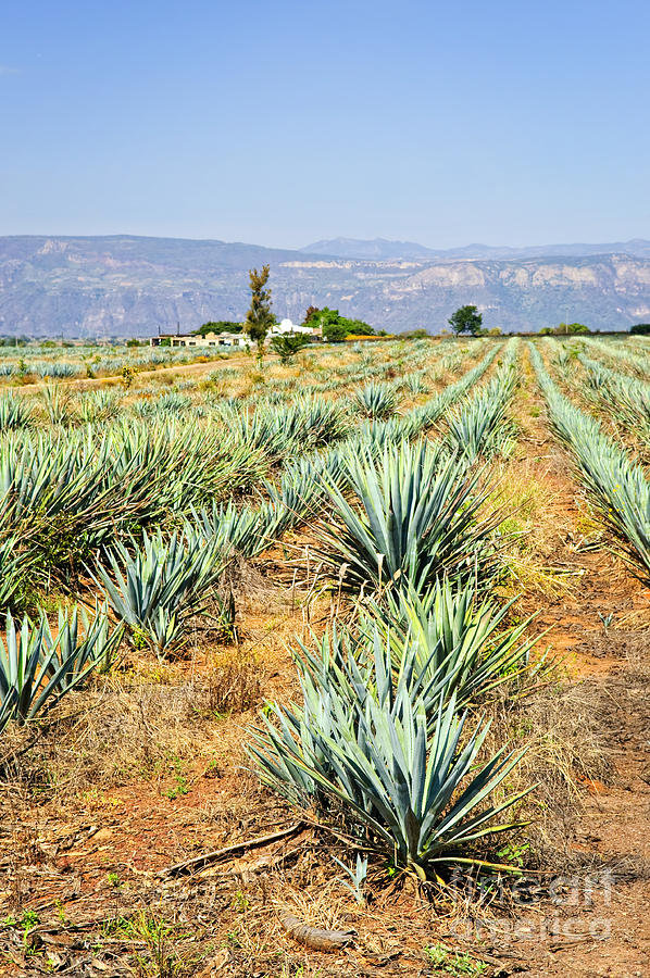 Agave Cactus Field In Mexico Photograph