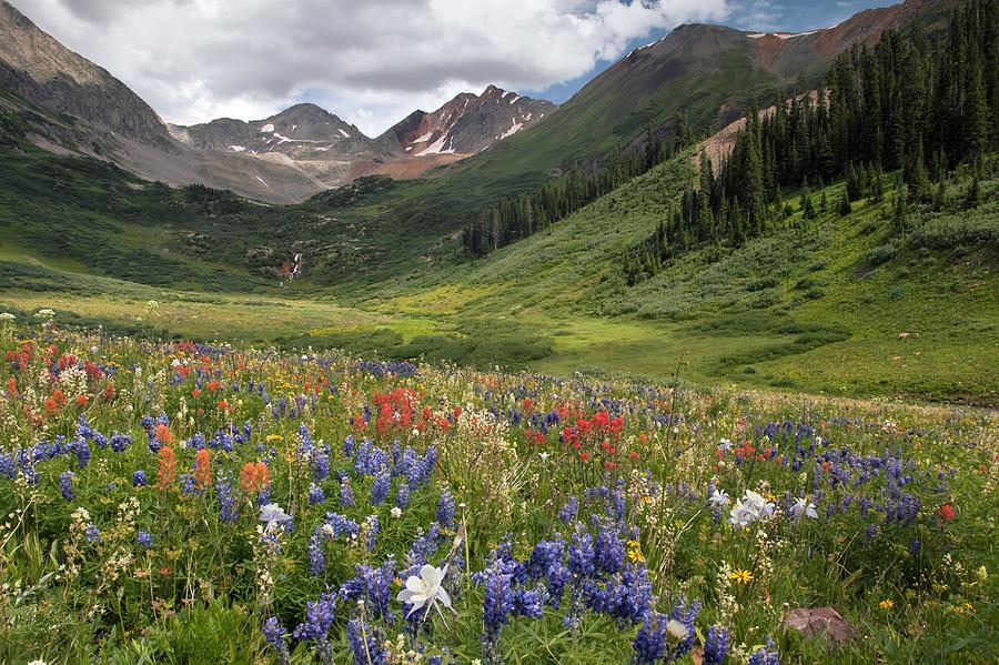 Alpine Flowers In Rustlers Gulch, Usa Photograph  - Alpine Flowers In Rustlers Gulch, Usa Fine Art Print