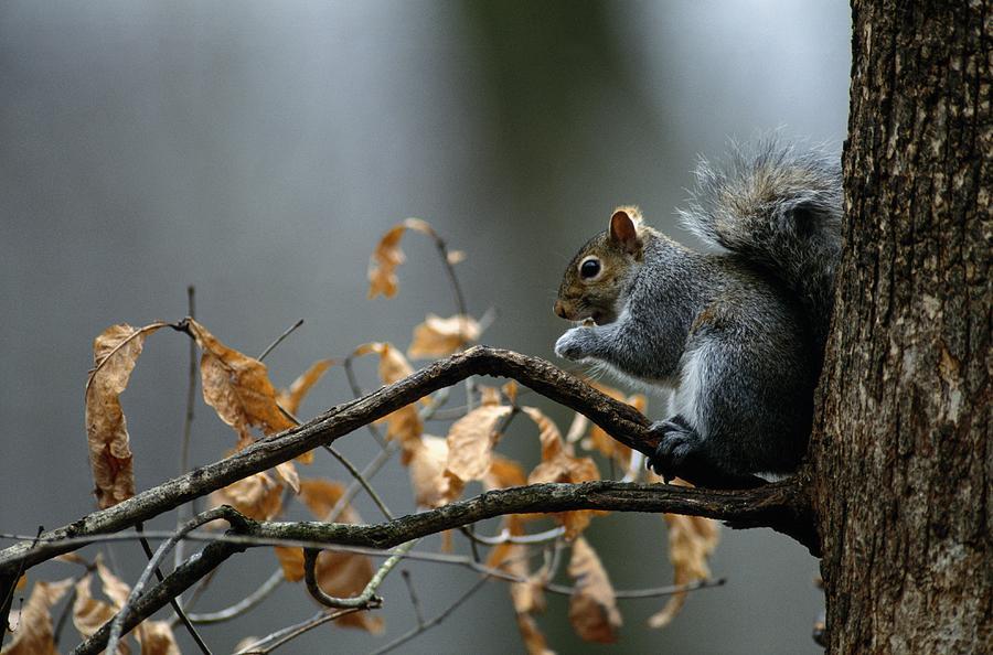 North America Photograph - An Eastern Gray Squirrel Sciurus by Chris Johns