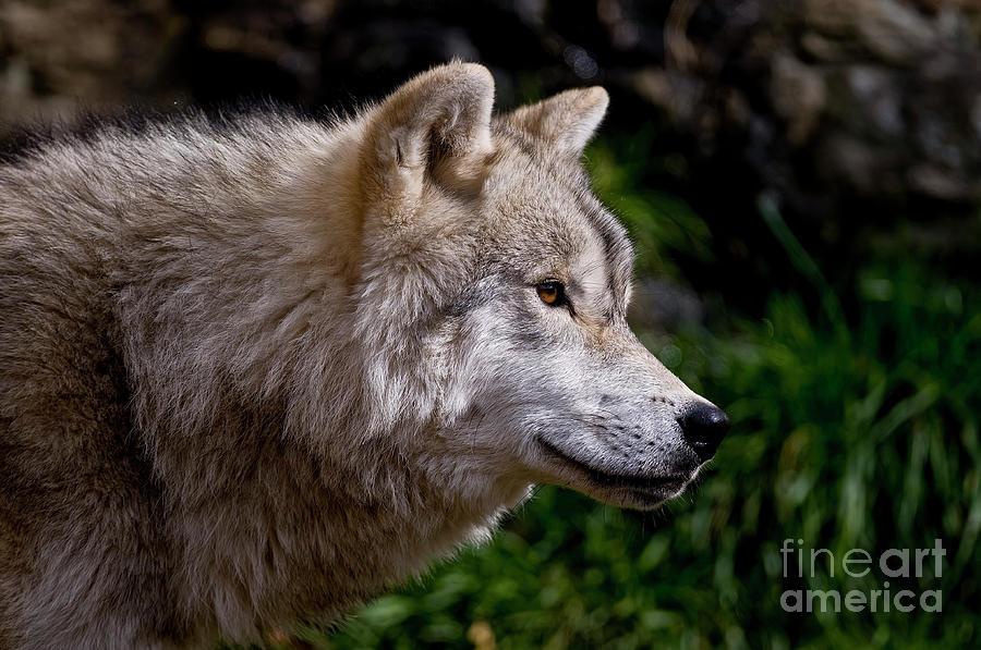 Arctic Wolf Portrait Photograph