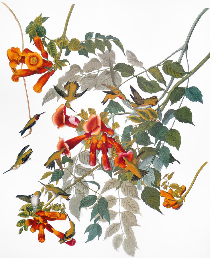 Audubon: Hummingbird Photograph