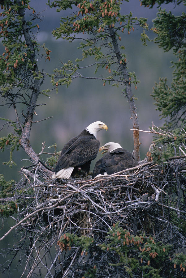 Bald Eagle Haliaeetus Leucocephalus Photograph