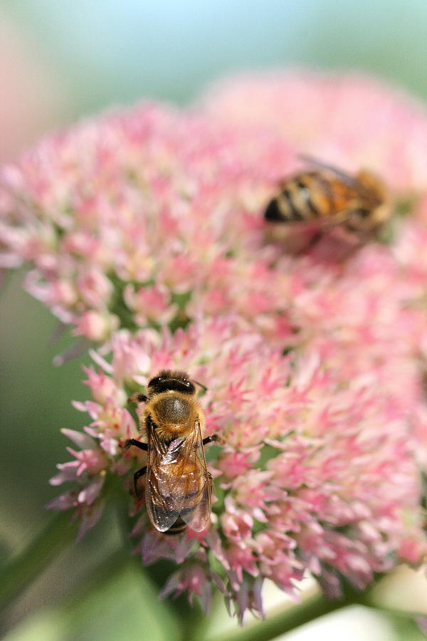 2 Bees Photograph