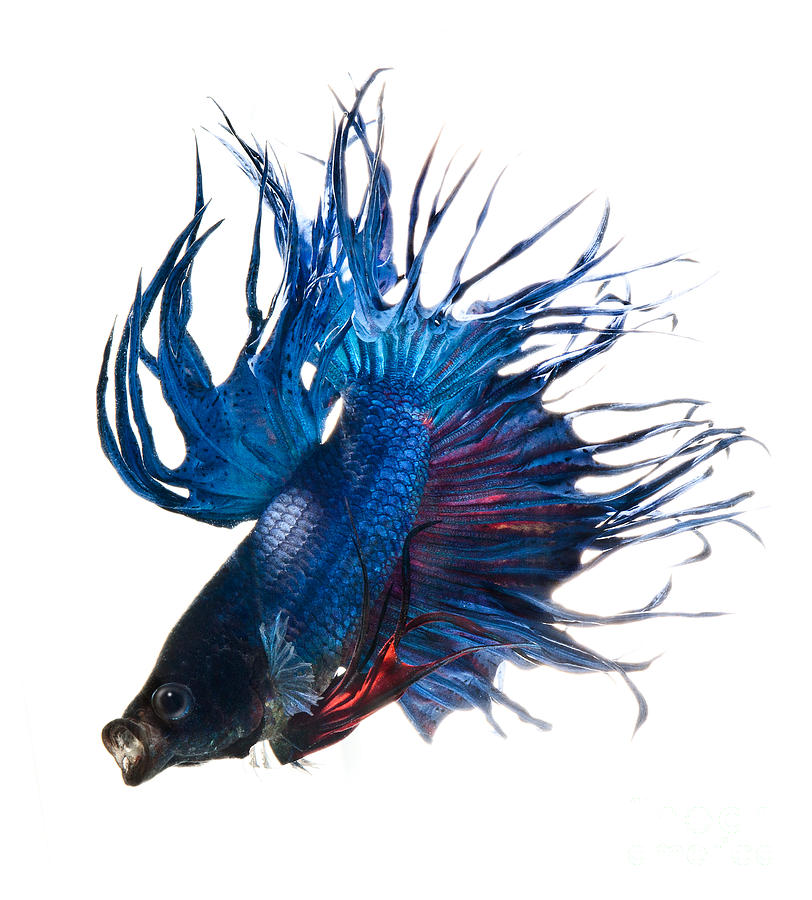 Betta fish photograph betta fish fine art print for Betta fish painting