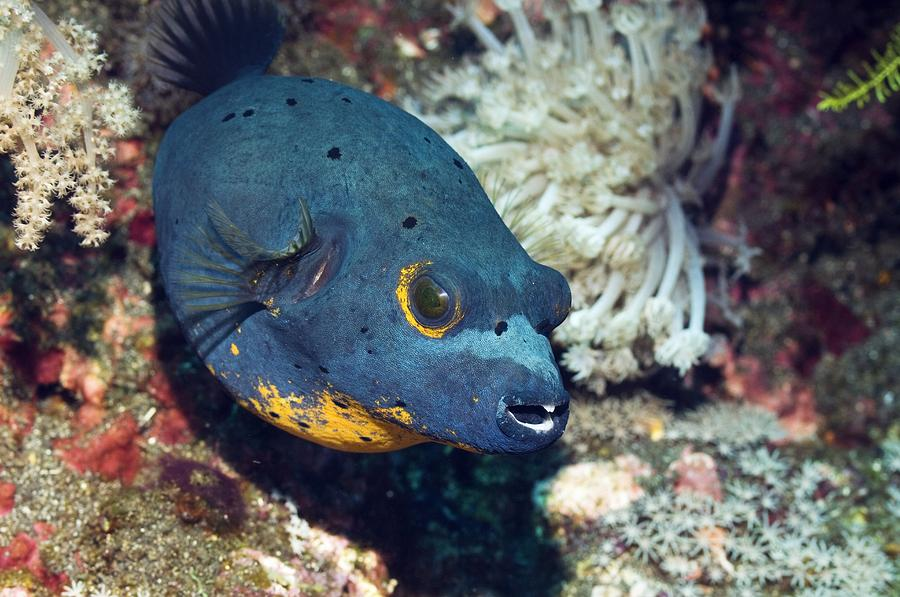 Blackspotted Puffer Photograph  - Blackspotted Puffer Fine Art Print