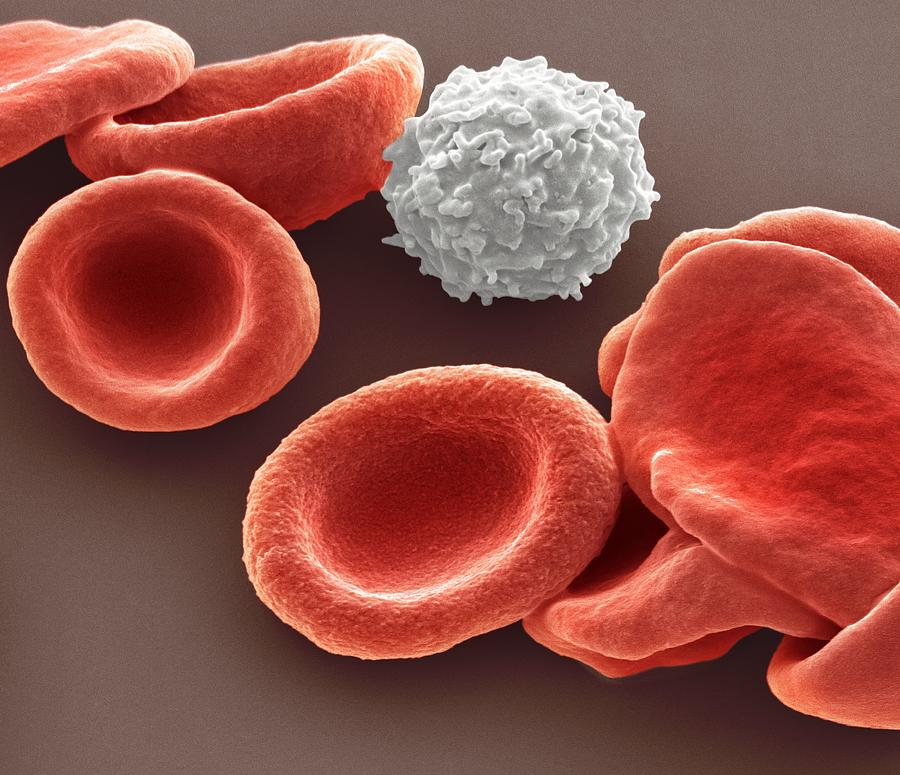 Biconcave Photograph - Blood Cells by Steve Gschmeissner