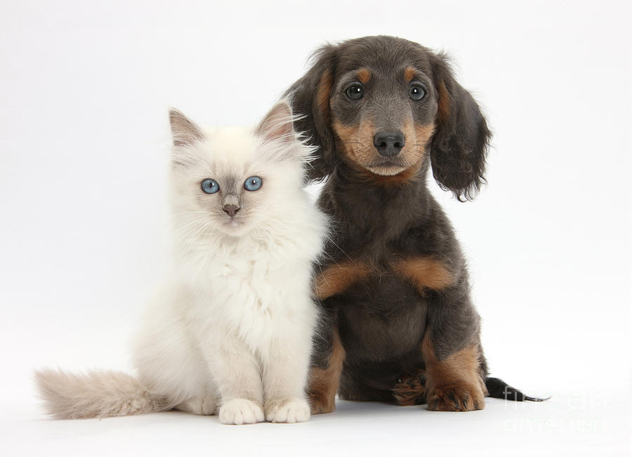 Blue-point Kitten & Dachshund Photograph