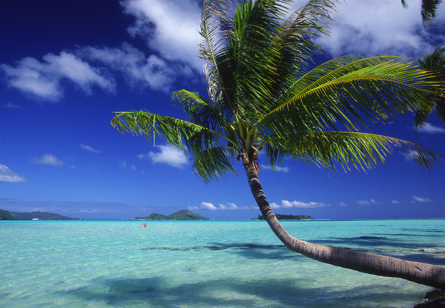 Bora Bora, Palm Tree Photograph