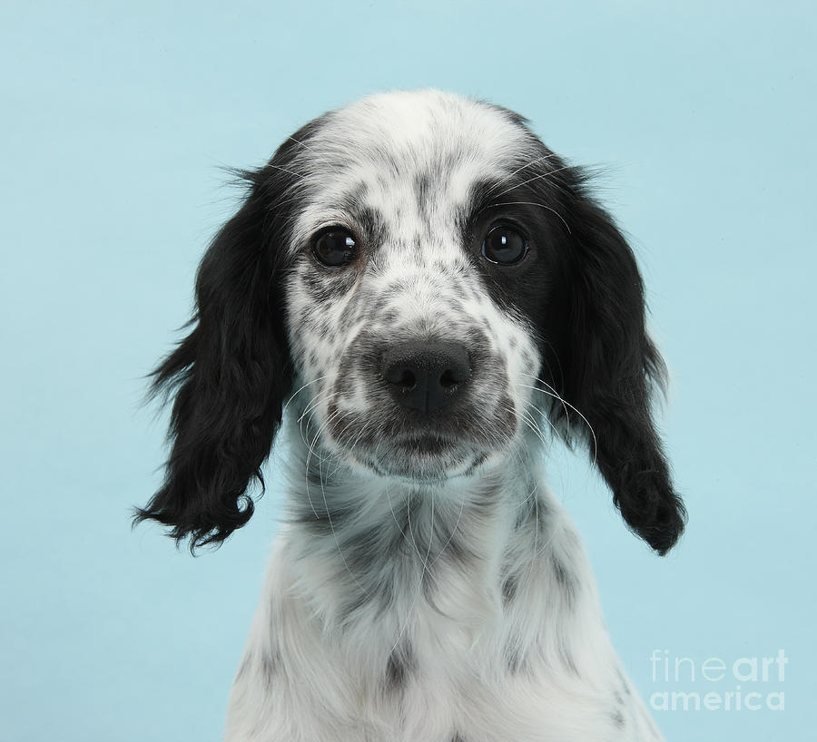 Border Collie X Cocker Spaniel Puppy Photograph  - Border Collie X Cocker Spaniel Puppy Fine Art Print