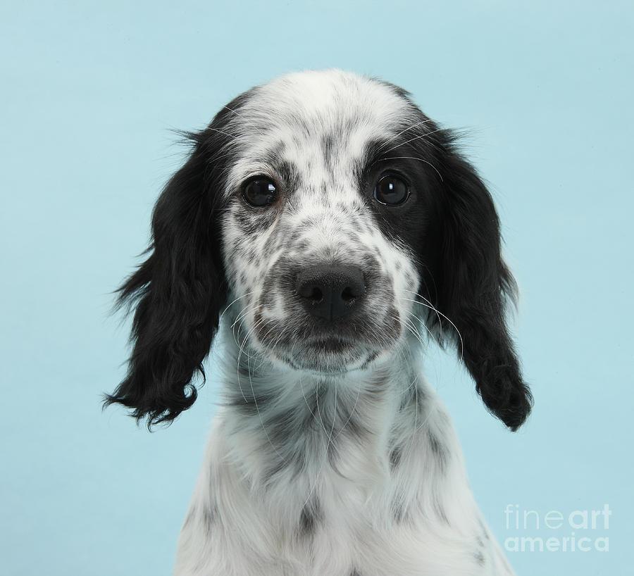 Border Collie X Cocker Spaniel Puppy Photograph