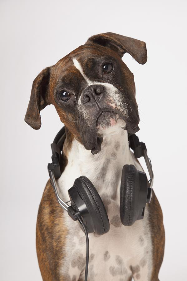 Boxer Dog With Headphones Photograph  - Boxer Dog With Headphones Fine Art Print