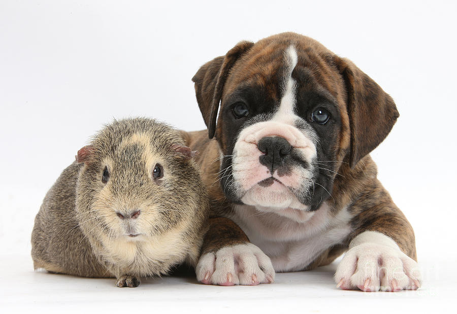 Boxer Puppy And Guinea Pig Photograph  - Boxer Puppy And Guinea Pig Fine Art Print
