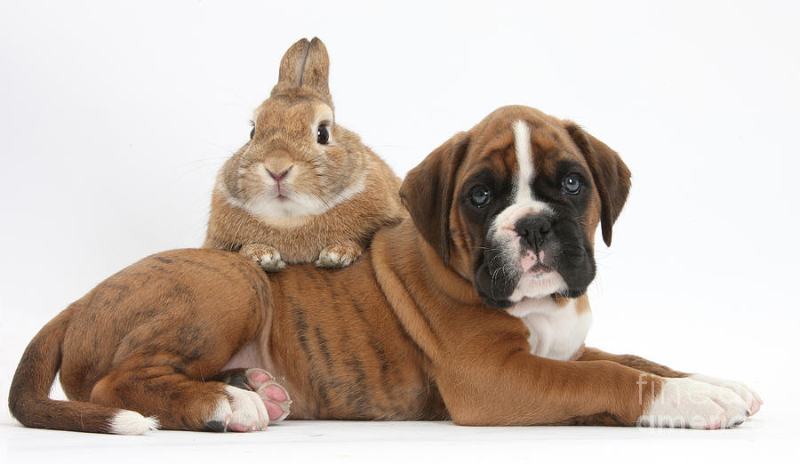 Boxer Puppy And Netherland-cross Rabbit Photograph