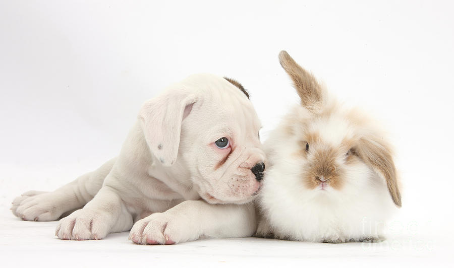 Boxer Puppy And Young Fluffy Rabbit Photograph