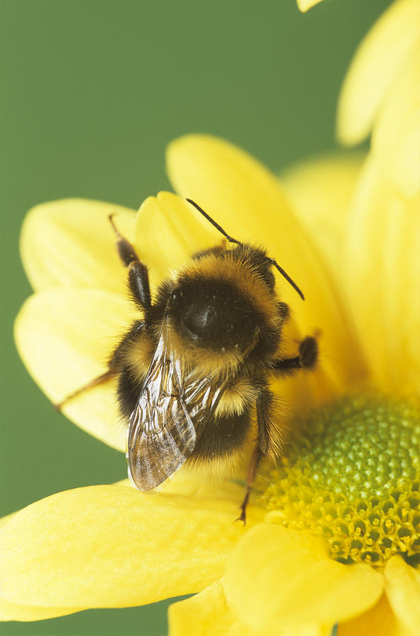 Bumble Bee Pollinating A Flower Photograph