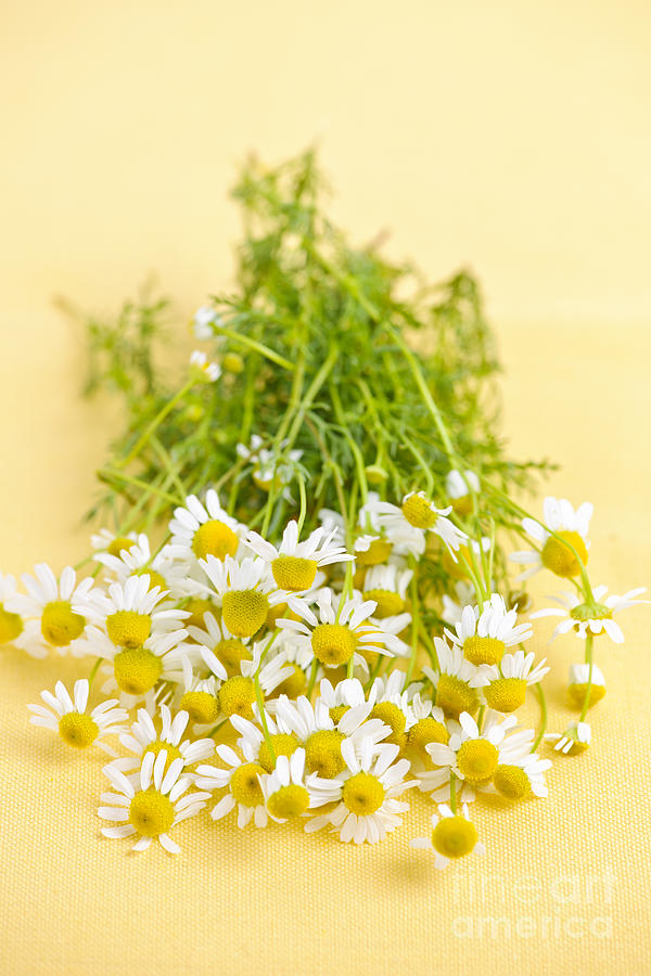 Chamomile Flowers Photograph
