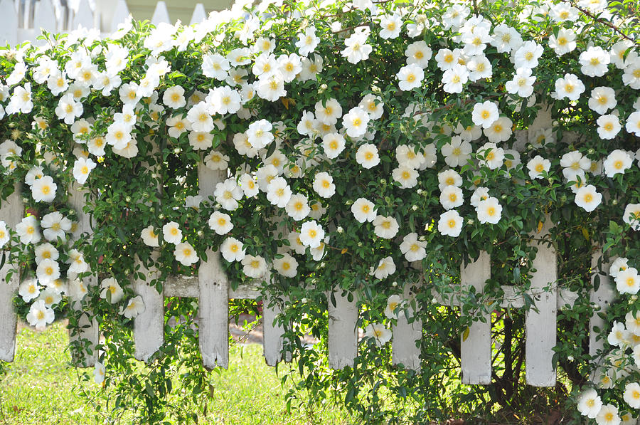 Cherokee Roses Photograph By Jan Amiss Photography