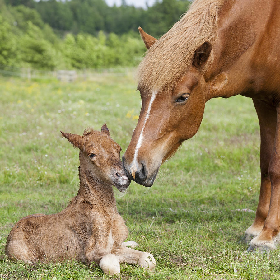 Chestnut Icelandic Horse With Newborn Foal Photograph by ...