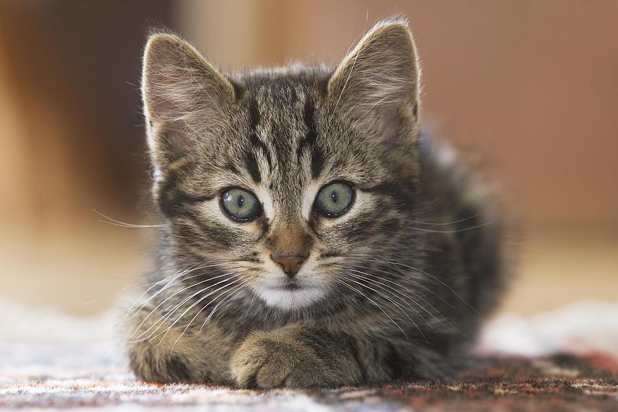 ragdoll kittens florida