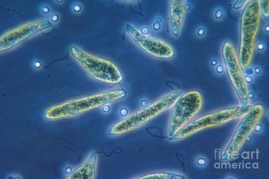 Science Photograph - Euglena Gracilis, Lm by Eric V. Grave