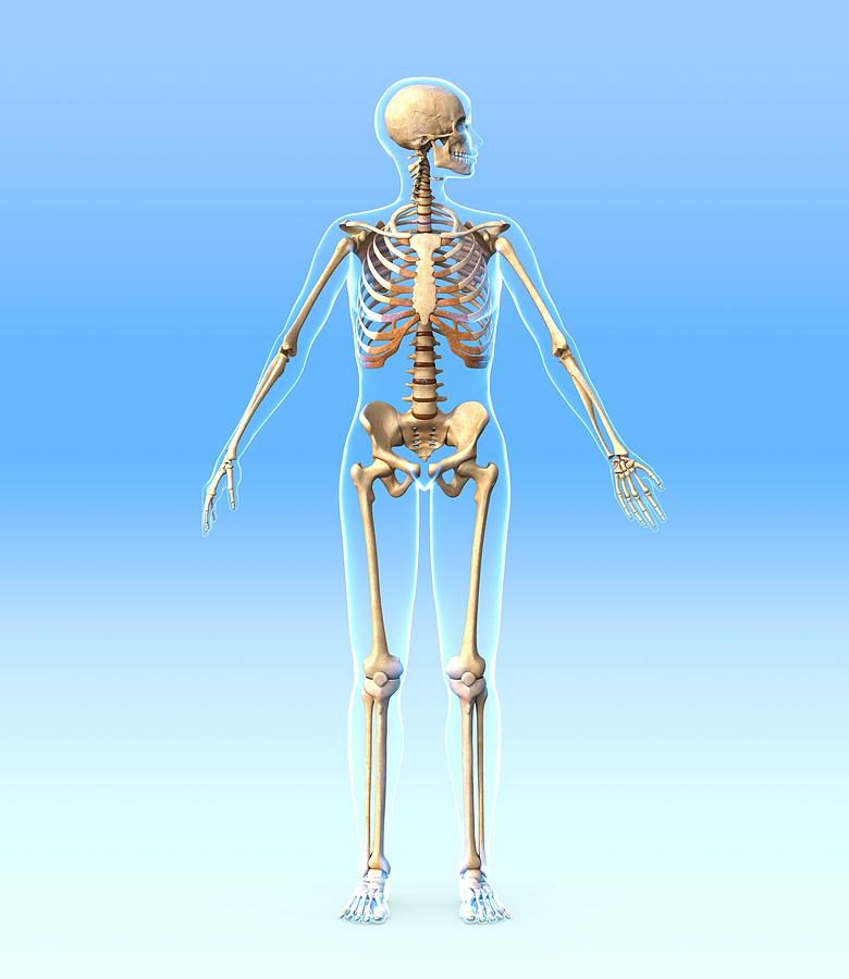 Female Skeleton, Artwork Photograph  - Female Skeleton, Artwork Fine Art Print