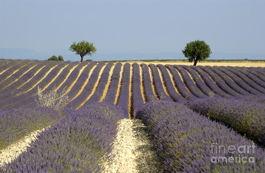 Field Of Lavender. Provence Photograph