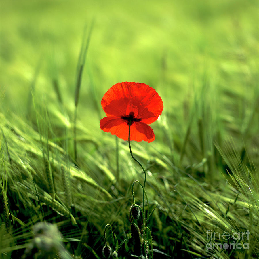 Field Of Wheat With A Solitary Poppy. Photograph