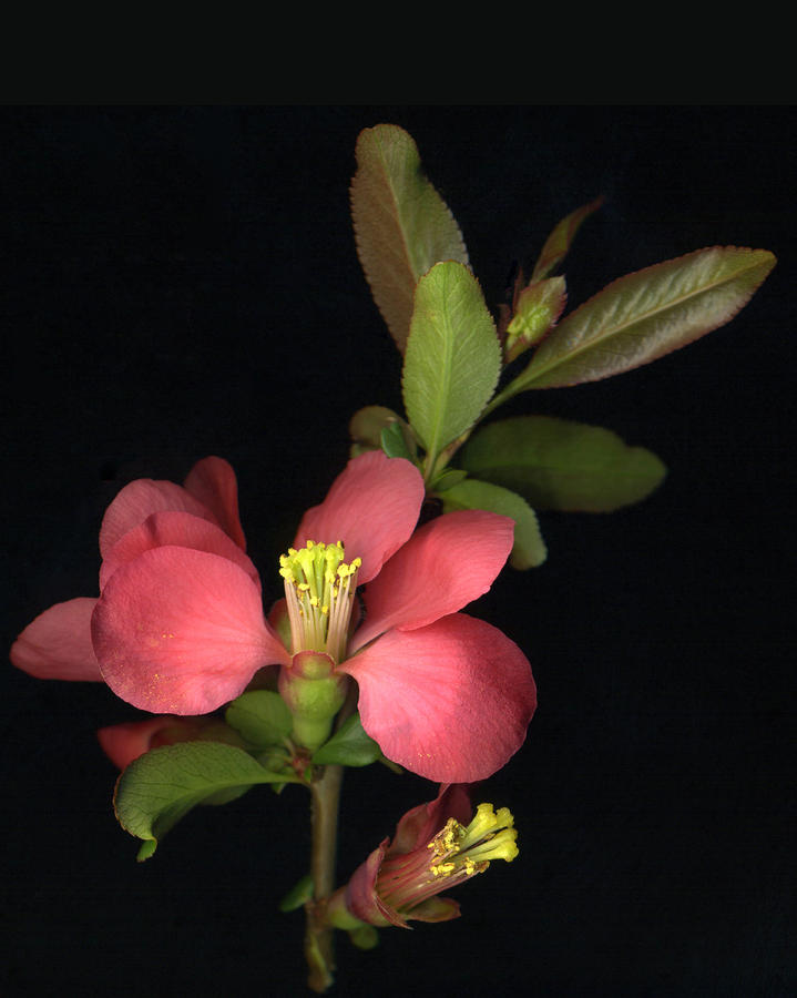 Flowering Quince Photograph