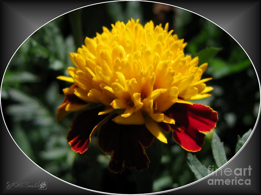 French Marigold Named Solan Photograph  - French Marigold Named Solan Fine Art Print