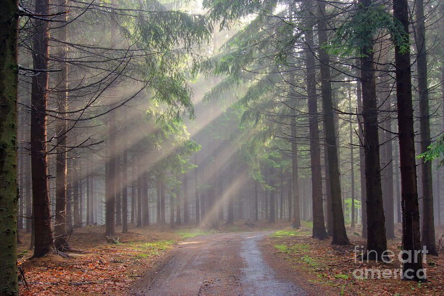 God Beams - Coniferous Forest In Fog Photograph