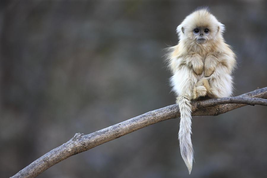 Golden Snub-nosed Monkey Rhinopithecus Photograph