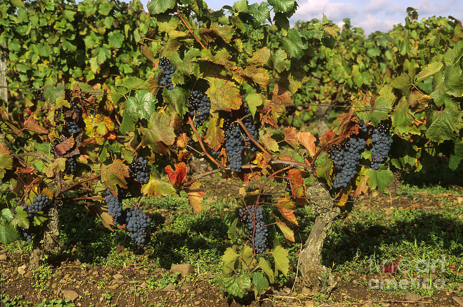 Grapes Growing On Vine Photograph  - Grapes Growing On Vine Fine Art Print