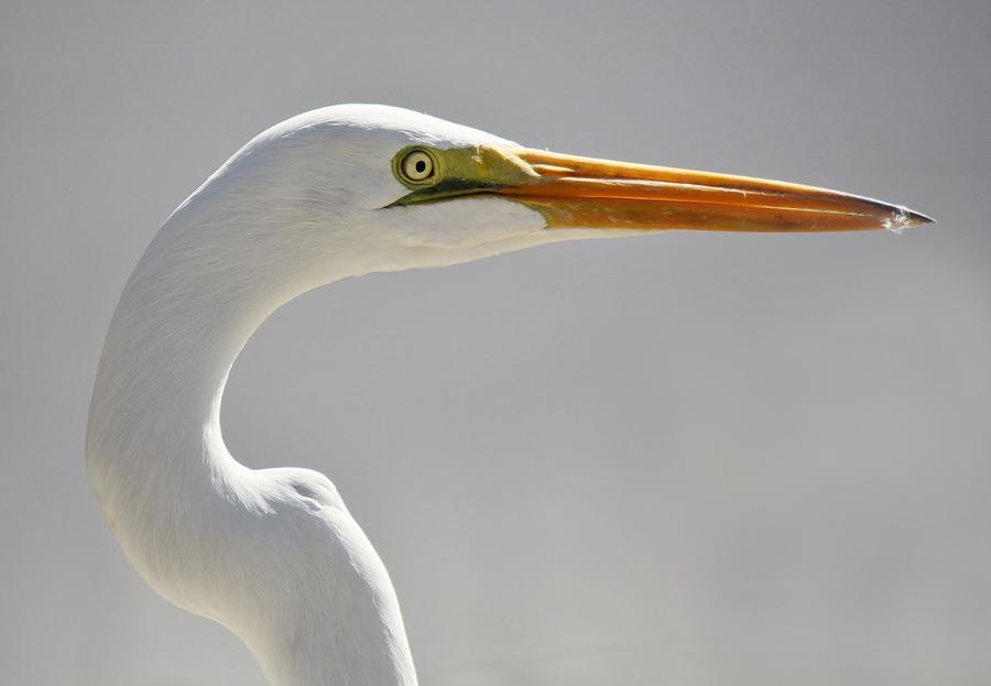 Great White Egret Photograph - Great White Egret by Paulette Thomas