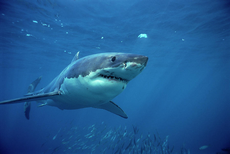 Great White Shark Carcharodon Photograph