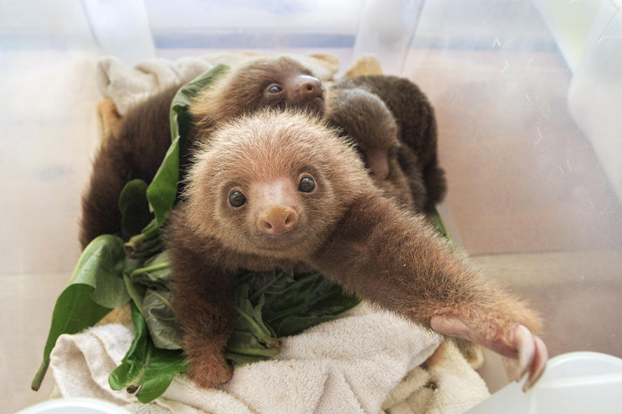 baby two toed sloth - photo #1