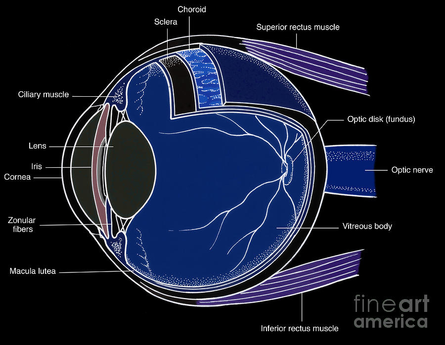 Illustration Of Eye Anatomy Photograph