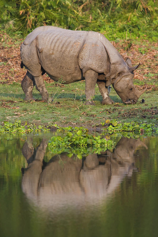 Indian Rhinoceros Rhinoceros Unicornis Photograph