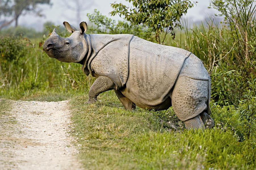 Indian Rhinoceros Photograph