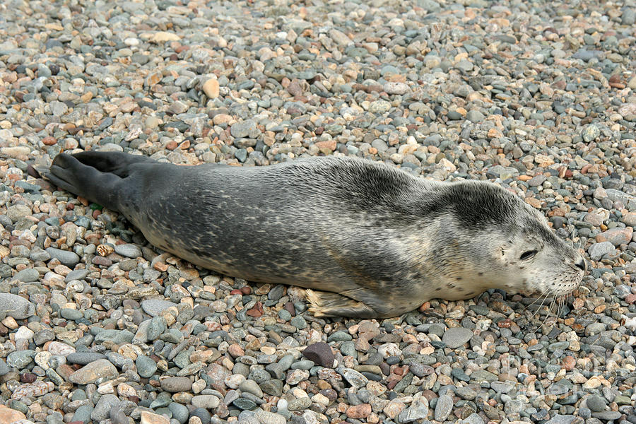 Injured Harbor Seal Photograph  - Injured Harbor Seal Fine Art Print